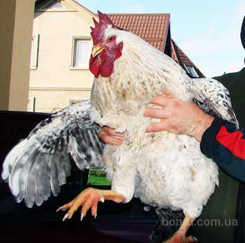 Цыплята Мастер Грей