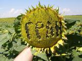 """насіння гібриду соняшнику""""Толедо"""""""