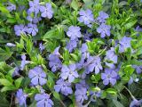 Продам саженцы барвинка: голубой и сине-фиолетовый.