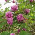 Продам семена бобовника (золотой дождь) и розовой акации (робиния клейкая).