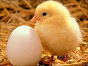 Інкубаційні яйця РОСС-308 і КОББ-500