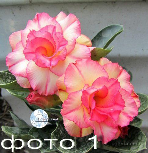 Продам излишки сеянцев адениумов обессум – роза пустыни (махровые), адениум Mini Size, арабикумы.