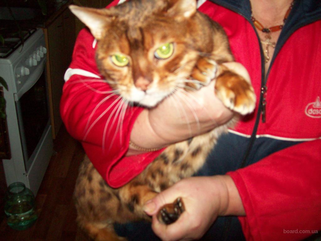 Бенгальский кот на вязку.
