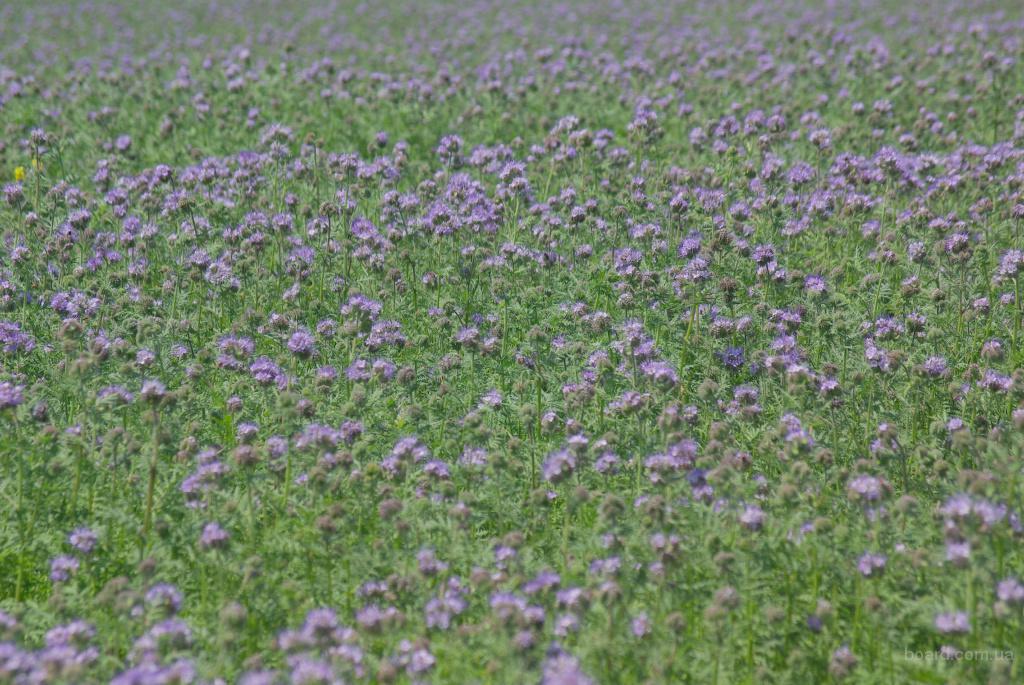 Продам семена - фацелия пижмолистная -  медонос
