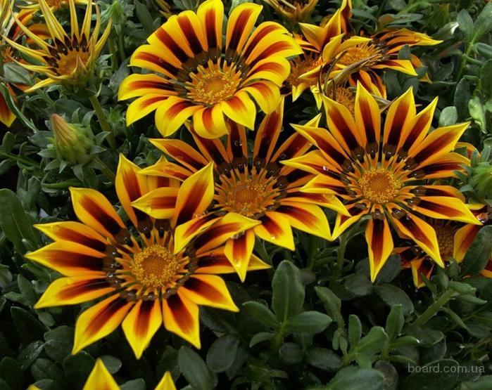 Продам семена Газания Солнечный Свет