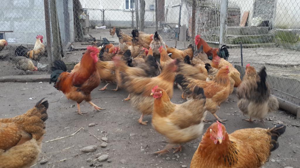 кучинська ювілейна інкубаційні яйця
