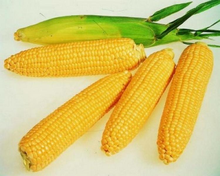 Семенной материал кукурузы и подсолнечника от производителя ЮгАгроСервис