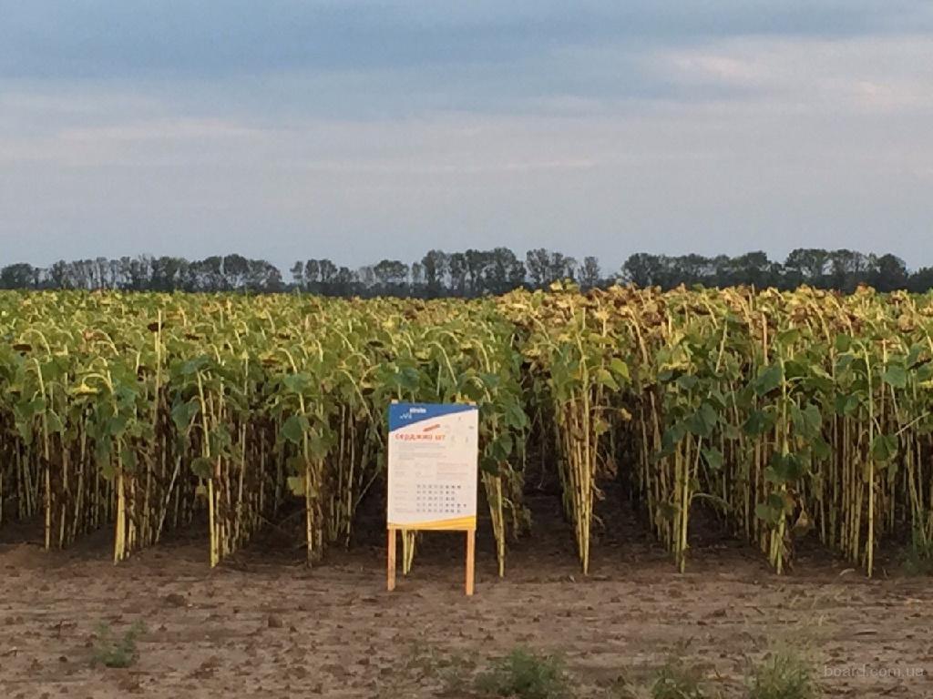 Продаю семена подсолнечника  Серджио ШТ