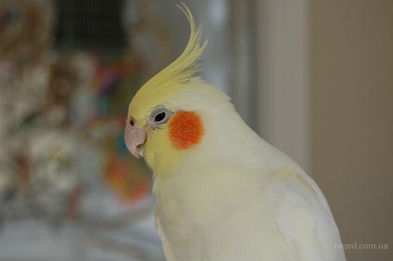 Попугай корелла - альбинос