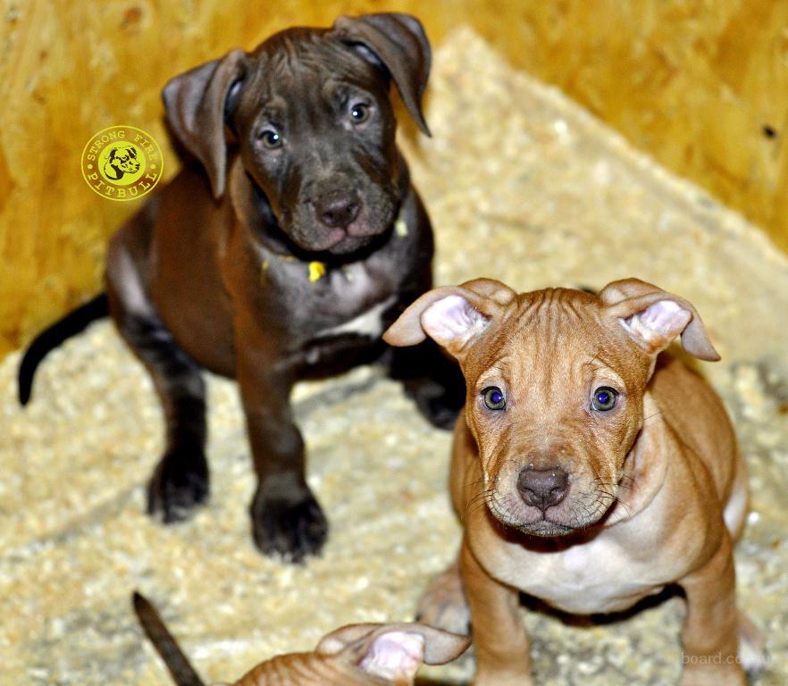 Красноносые щенки питбуля питбультерьера 2 девочки