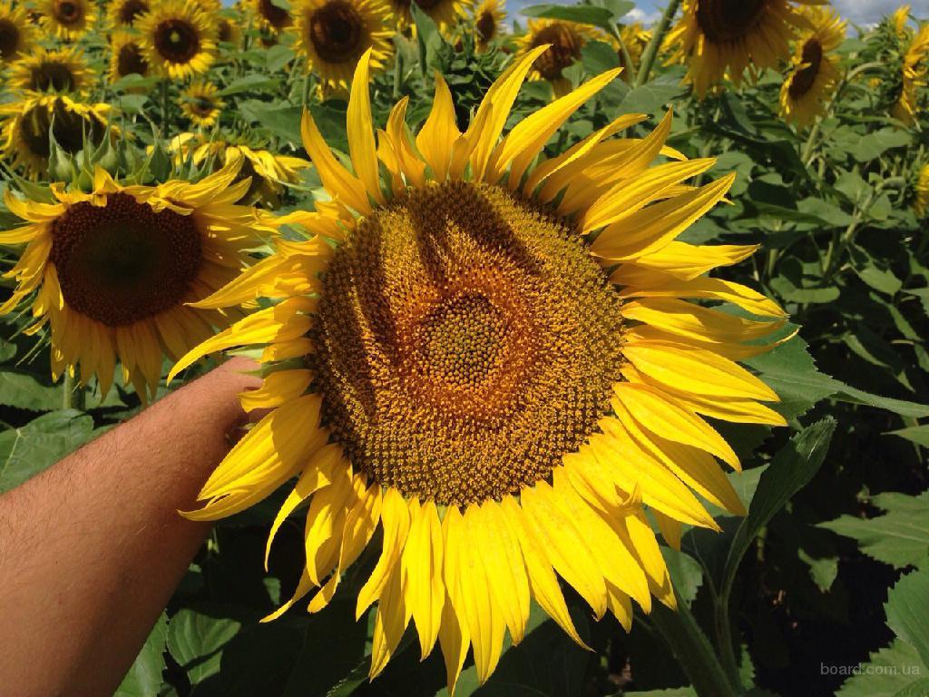 Семена подсолнечника от « Терра Юг Украина »!!!