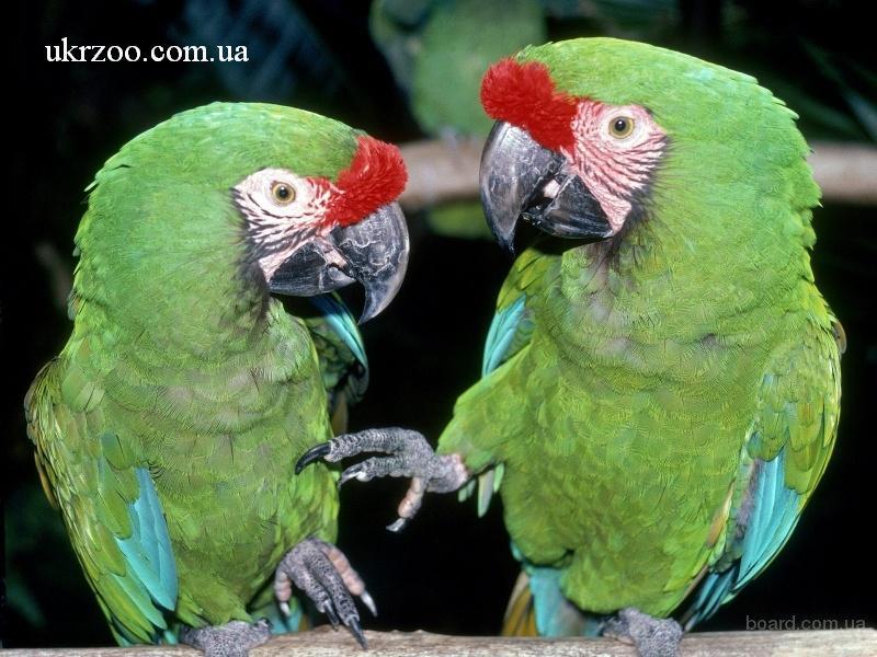 Купить Жако, Ара, Какаду Амазон можно у нас, продам попугаев