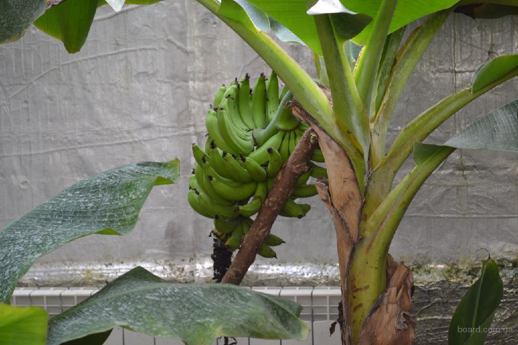 Экскурсия на банановую ферму