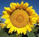 Продам семена подсолнечника, гибрид Анастасия (110 дней вегетации)