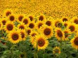 Продам семена подсолнечника, гибрид НС Дионис (105 дней вегетации)