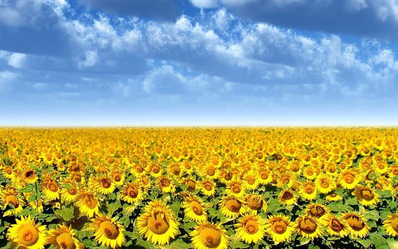Гибрид подсолнечника НС-Константин (108 дней вегетации), продам семена подсолнечника в Украине
