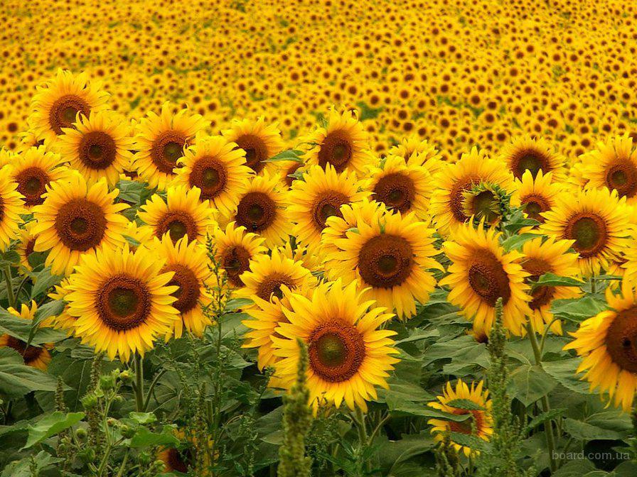 Продам семена подсолнечника, документы, доставка, цены производителя