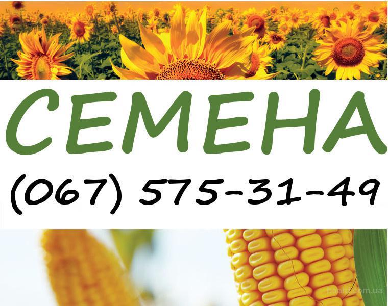 Семена кукурузы и подсолнечника сербской