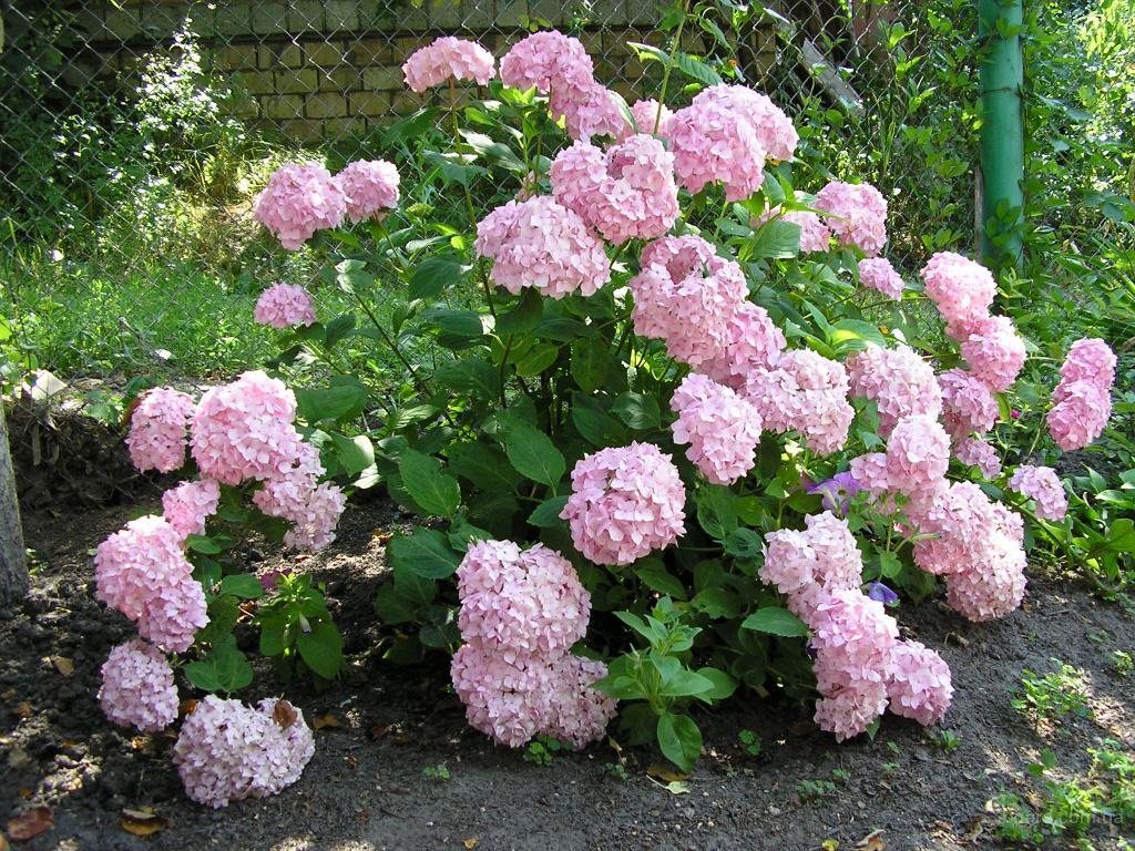 Гортензия древовидная белая и крупнолистая розовая.