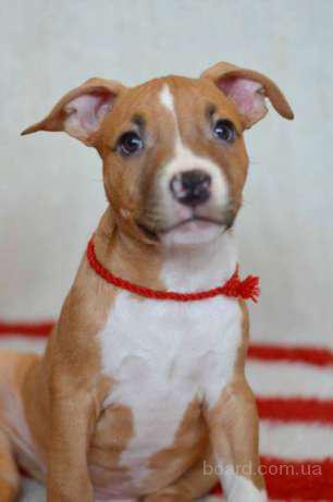 Предлагаются щенки, породы Американского стаффордширского терьера