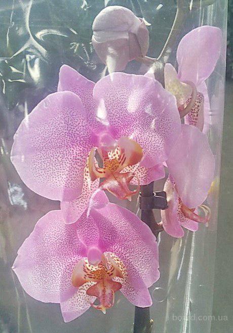 Продажа пятнистых орхидей