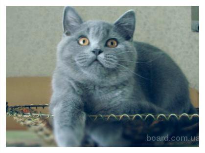 британcкий кот маркиз