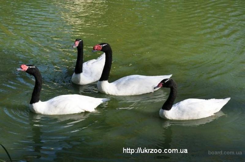 Продам Лебедей, Белый, Черный, Черношеей лебедь