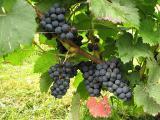 Винные сорта винограда (технические) Голубок