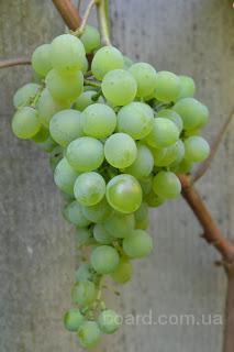 Винные сорта винограда (технические) Кристалл