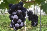 "Саженцы винограда ""Кёхо"" (Япония)"