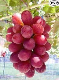 """Саженцы винограда """"Солнечные дольки"""""""
