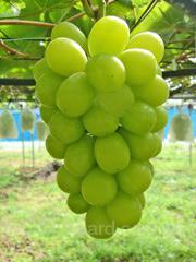 "Саженцы винограда ""Шейн Мускат"" (Shine?Muscat)"
