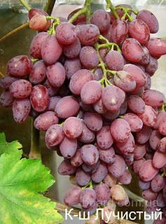 """Саженцы винограда """"К-ш Лучистый"""""""