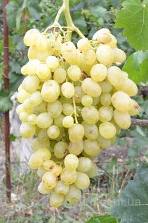 """Саженцы винограда """"Долгожданный"""""""
