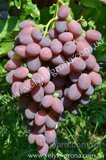 "Саженцы винограда ""Чимзар"""