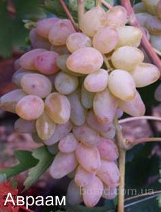 "Саженцы винограда ""Авраам"""
