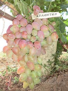 """Саженцы винограда """"Атлантик"""""""