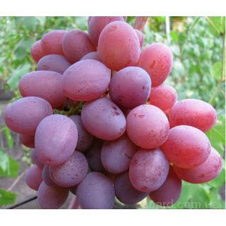 """Саженцы винограда """"Рута"""""""