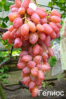"""Саженцы винограда """"Гелиос"""""""