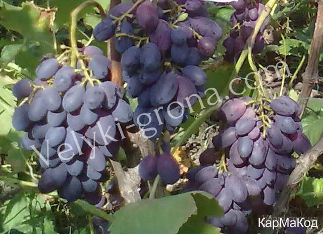 """Саженцы винограда """"КарМаКод"""""""