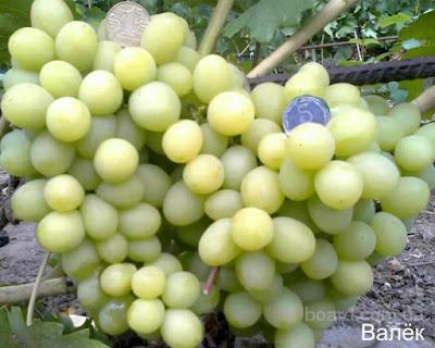 """Саженцы винограда """"Валек"""""""
