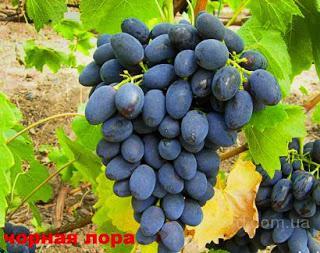 """Саженцы винограда """"Забава"""""""