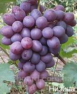"Саженцы винограда ""Низина"""