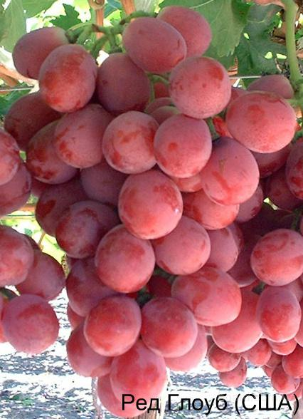 "Саженцы винограда ""Ред Глоуб"""