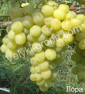 "Саженцы винограда ""Лора"""
