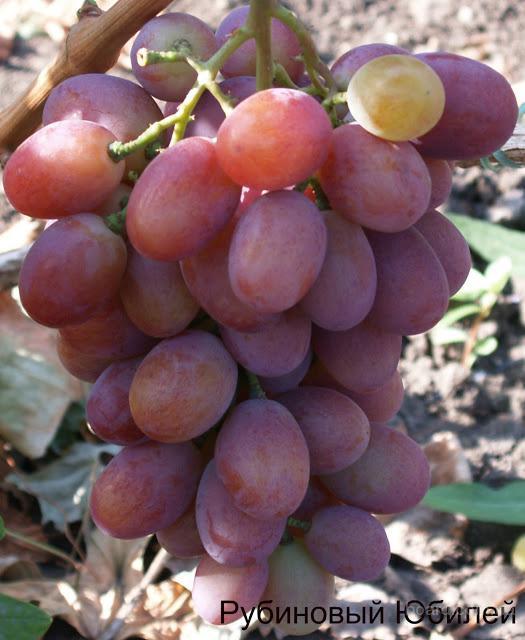 "Саженцы винограда ""Рубиновый Юбилей"""