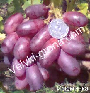 """Саженцы винограда """"Изюминка"""""""