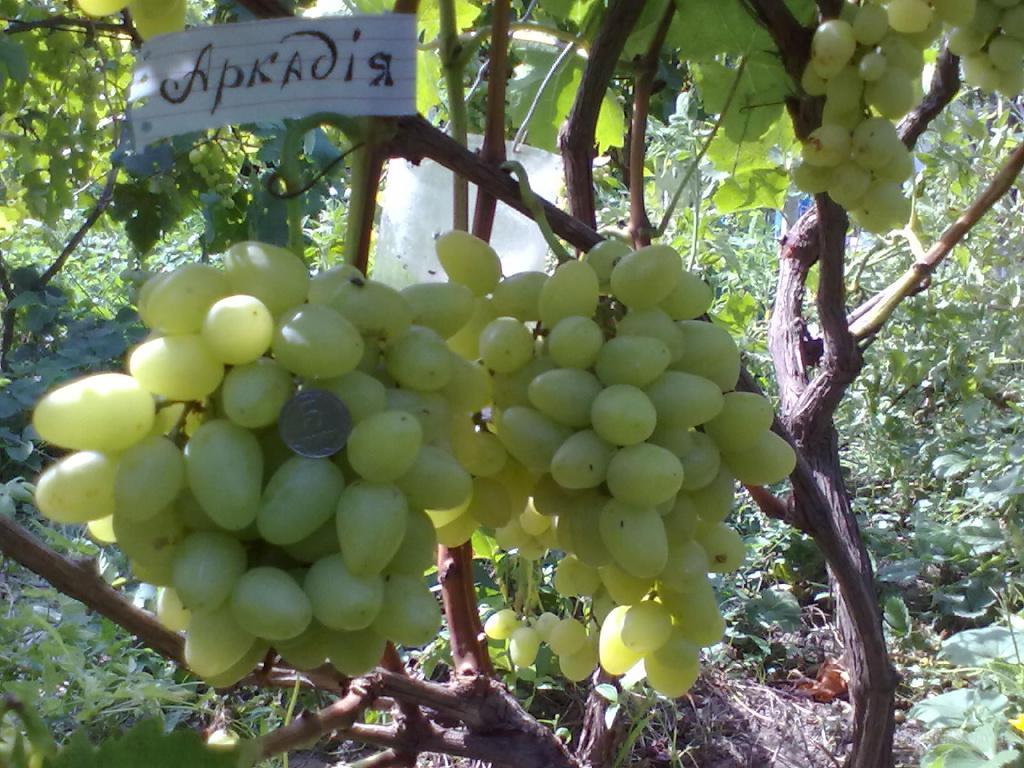 "Саженцы винограда ""Аркадия"""