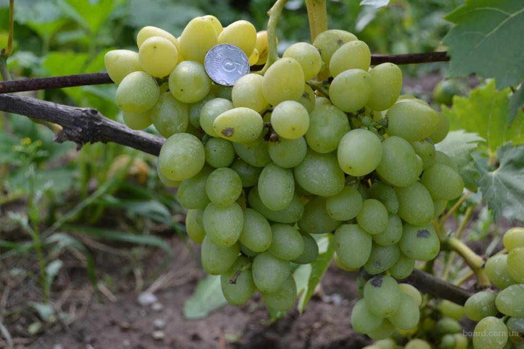 """Саженцы винограда """"Надежда Аксайская"""""""
