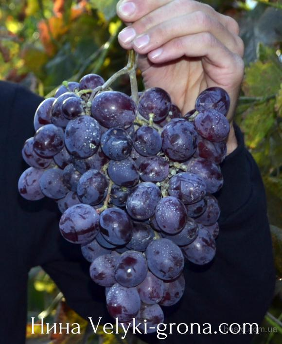 "Саженцы винограда ""Нина"""